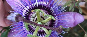 Пассифлора - выращивание, уход в домашних условиях, фото видов