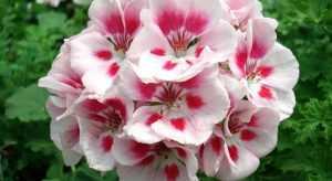 Пеларгония зональная цветение