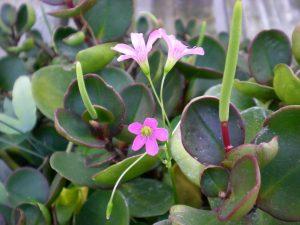 Пеперомия цветение