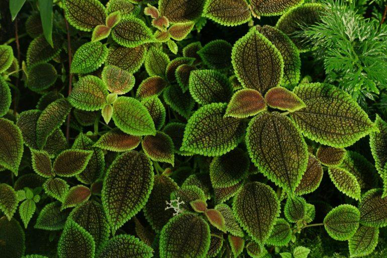 Пилея нитевидная (Pilea numiralifolia)