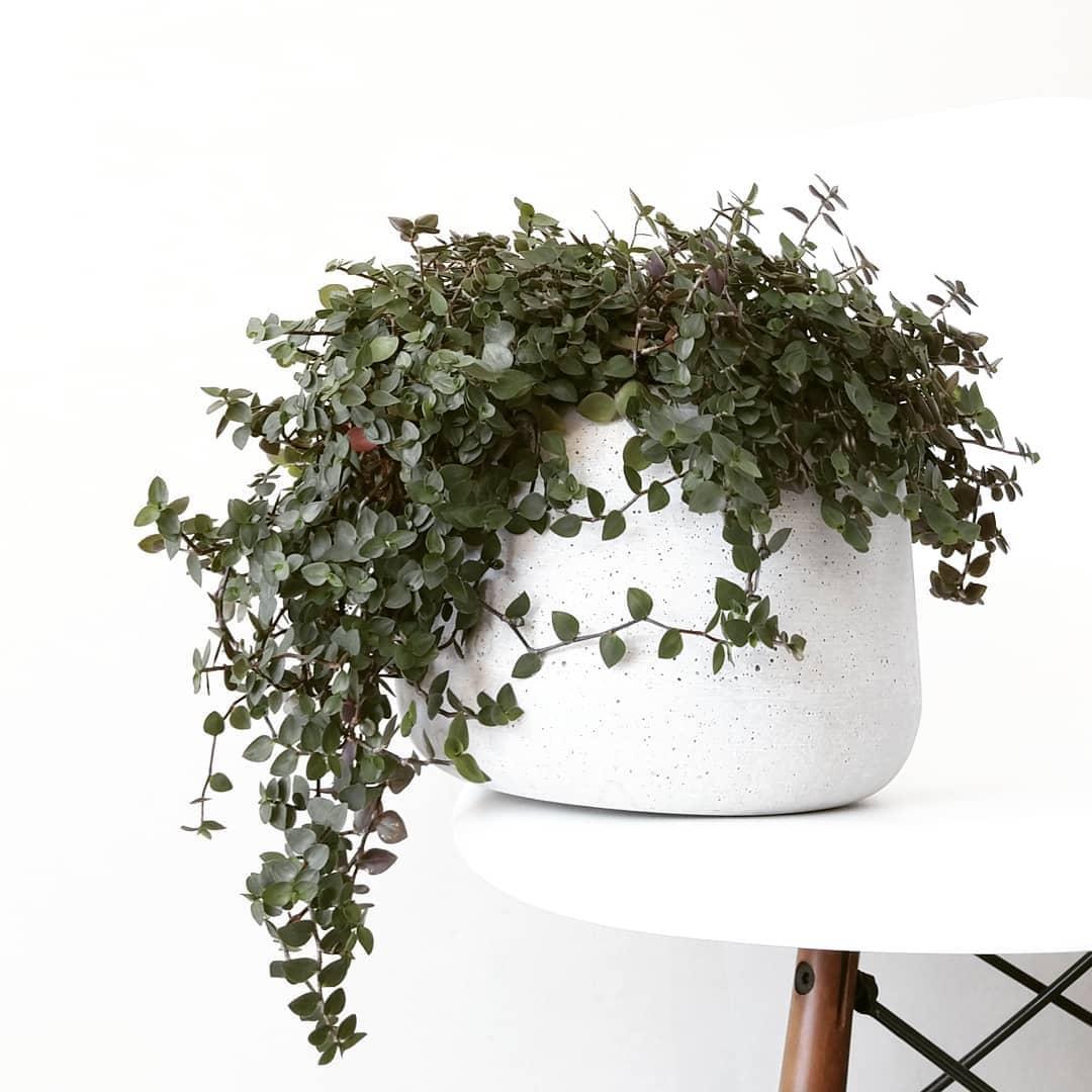 Цветок каллизия ползучая и душистая: уход в домашних условиях, фото