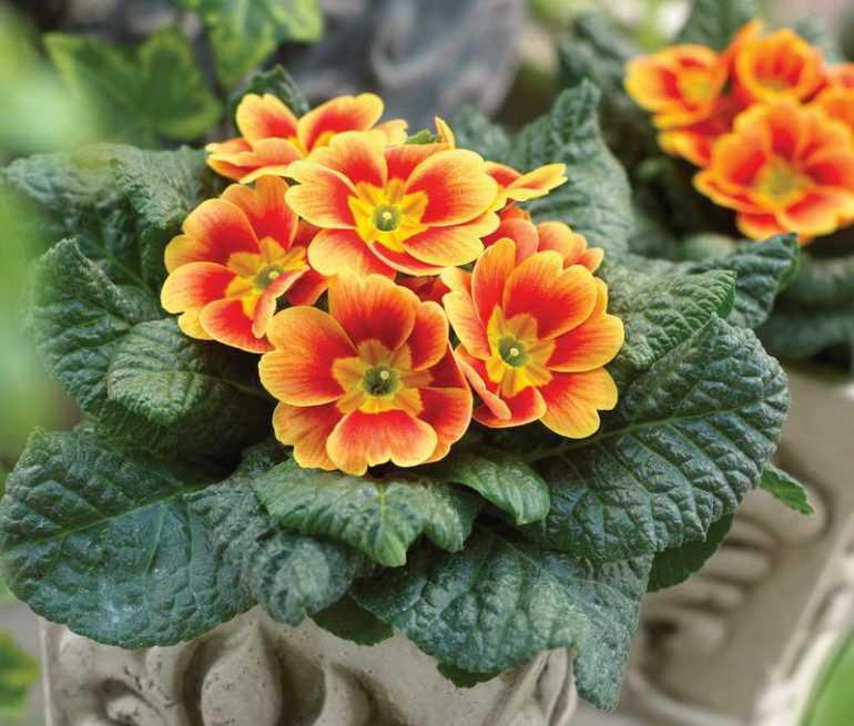Примула Обыкновенная или бесстебельчатая/ Primula vulgaris
