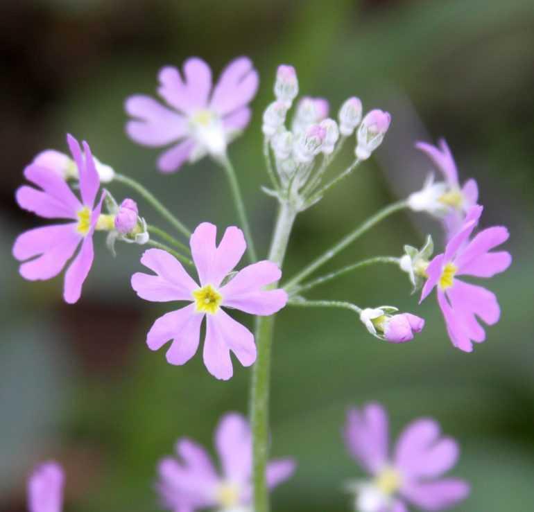 Примула Малакоидес или мальвоподобная/ Primula malacoides