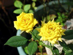опрыскивание розы домашней