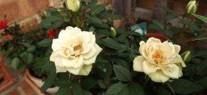 как поливать розу домашнюю