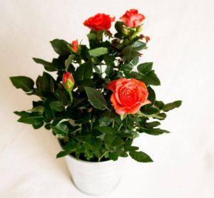 Роза домашняя цветение