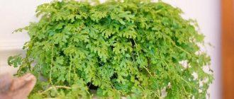 Селагинелла - выращивание и уход в домашних условиях, фото