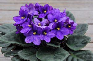 Сенполия цветение