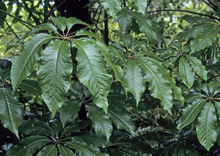 Шеффлера пальчатая (Schefflera digitata)