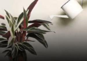 Строманта полив