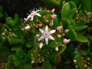 Толстянка цветение