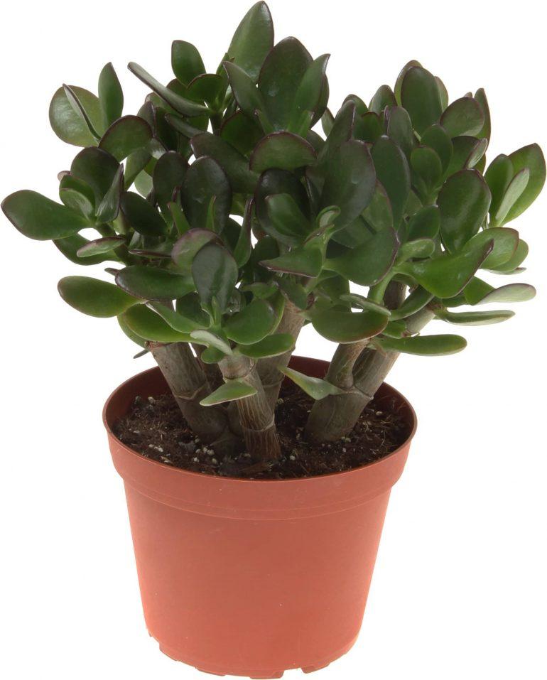 Толстянка овальная (Crassula ovata)