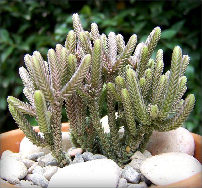 Толстянка плауновидная (Crassula lycopodioides)