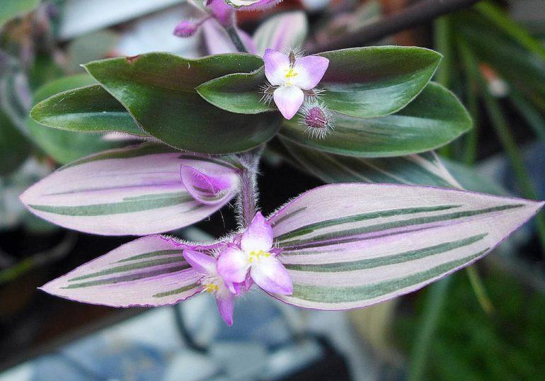 Традесканция Блоссфельда (Tradescantia blossfeldiana)