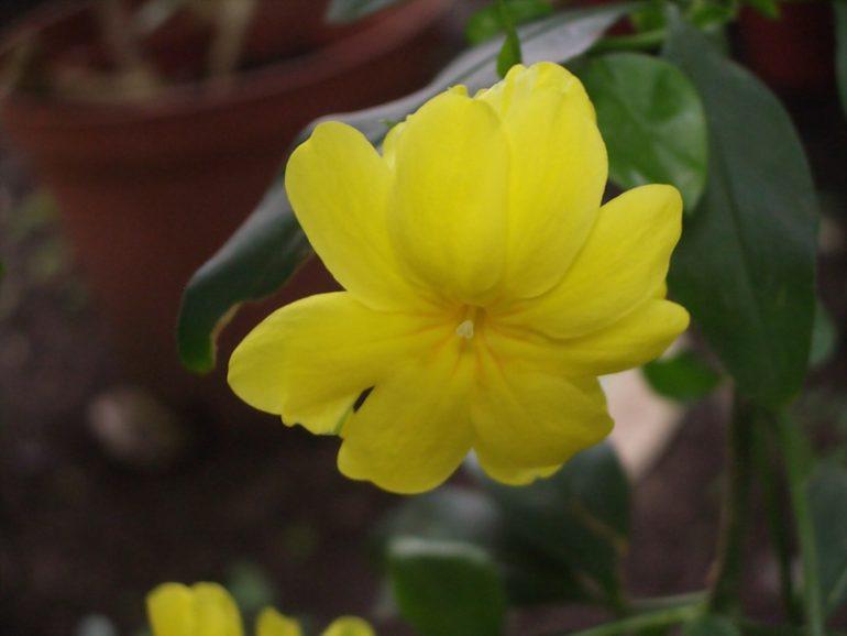Жасмин первоцветный Jasminum primulinum