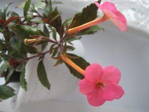 Ахименес (Achimenes) цветение