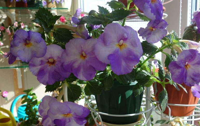 Ахименес крупноцветковый (Achimenes grandiflora)