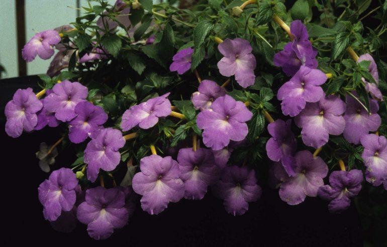 Ахименес длинноцветковый (Achimenes longiflora)