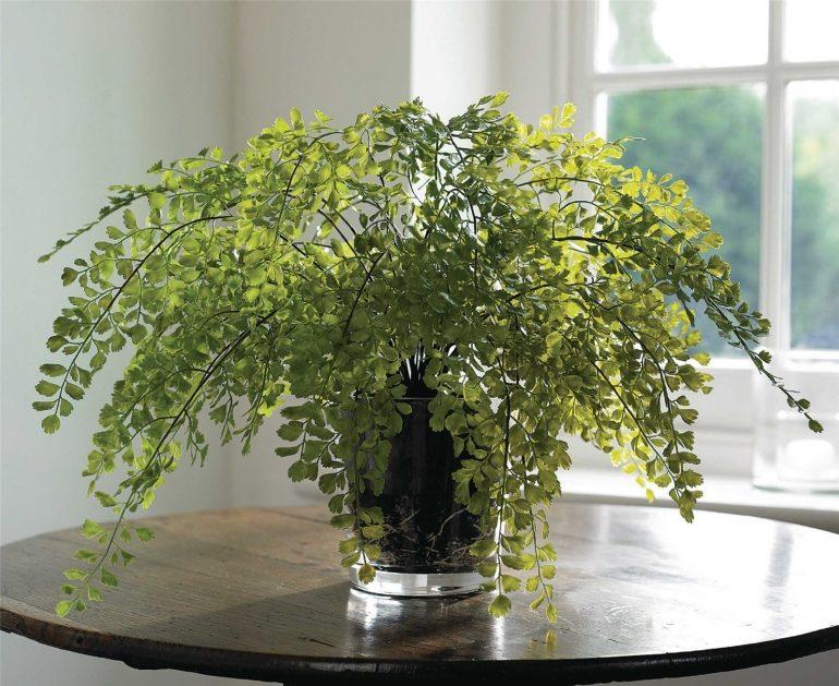Цветок венерин волос (папоротник адиантум): фото, уход в домашних условиях