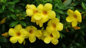 Алламанда цветение