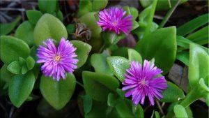 Аптения цветение