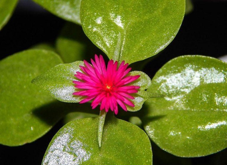 Аптения сердцелистная (Aptenia cordifolia)