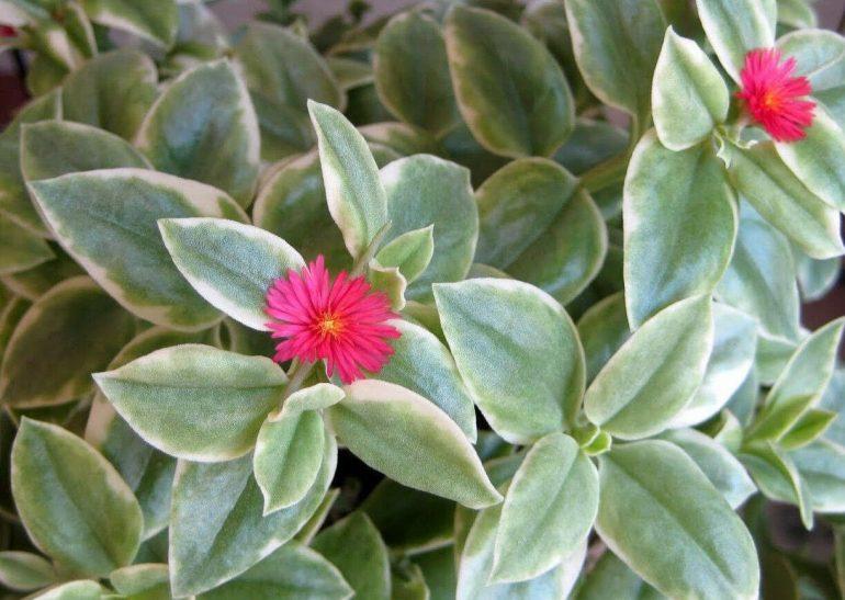 Аптения сердцелистная вариегатная (Aptenia cordifolia Variegata)