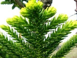 Араукария (Araucaria) цветение