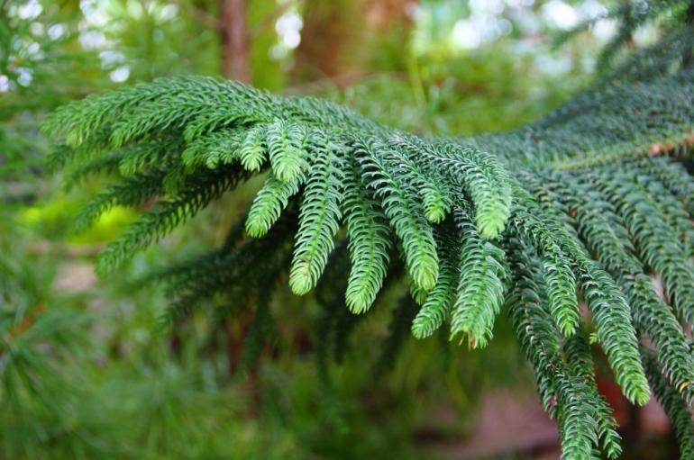 Араукария разнолистная (Araucaria heterophylla, Araucaria excelsa)