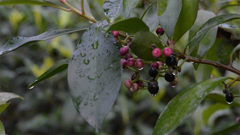 Ардизия Уоллича (Ardisia wallichii)