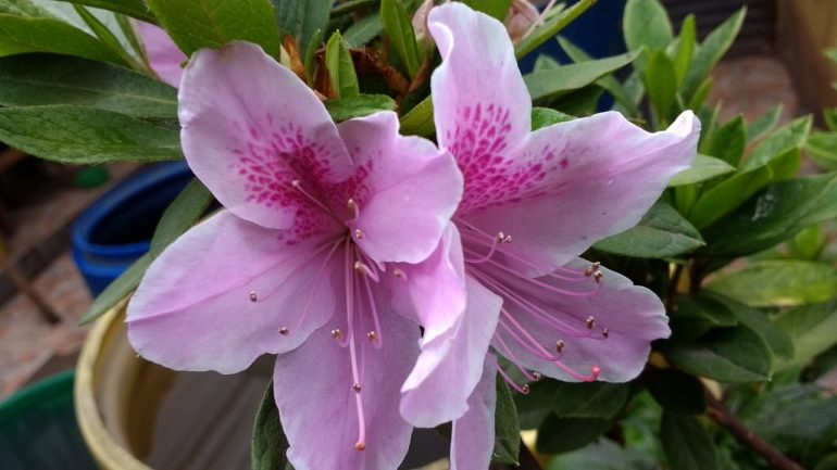 Rhododendron x indicum, Azalea indica