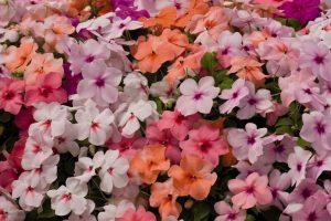 Бальзамин Уоллера (Валлера) цветение