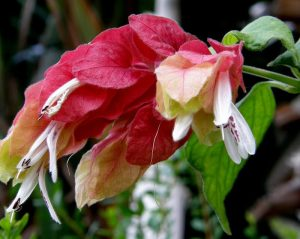Белопероне цветение