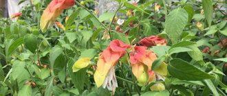 Белопероне - выращивание и уход в домашних условиях, фото видов