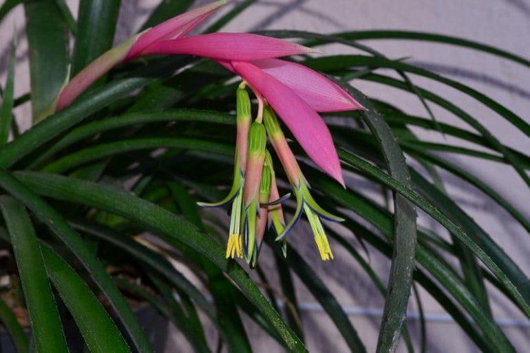 Бильбергия поникающая (Billbergia nutans)