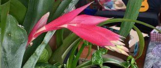 Бильбергия - выращивание и уход в домашних условиях, фото видов