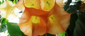 Бругмансия - выращивание и уход в домашних условиях, фото видов