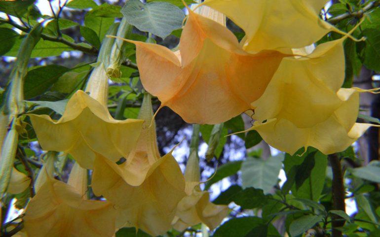 Бругмансия золотистая (Brugmansia aurea)