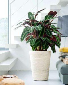 Цветок калатея в домашних условиях