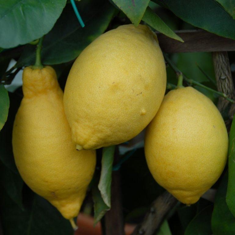 Лимонное дерево (Citrus limon) Вилла Франка