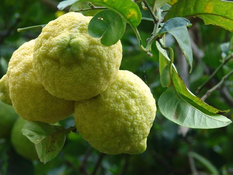 Лимонное дерево (Citrus limon) Дженоа