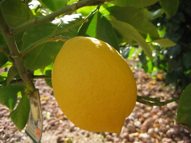 Лимонное дерево (Citrus limon) Курский