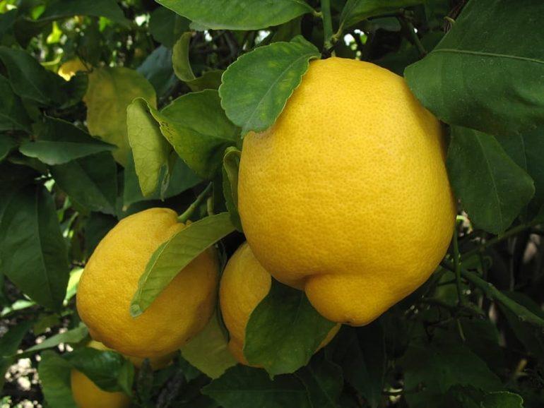Лимонное дерево (Citrus limon) Лисбон