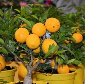Лимонное дерево (Citrus limon)