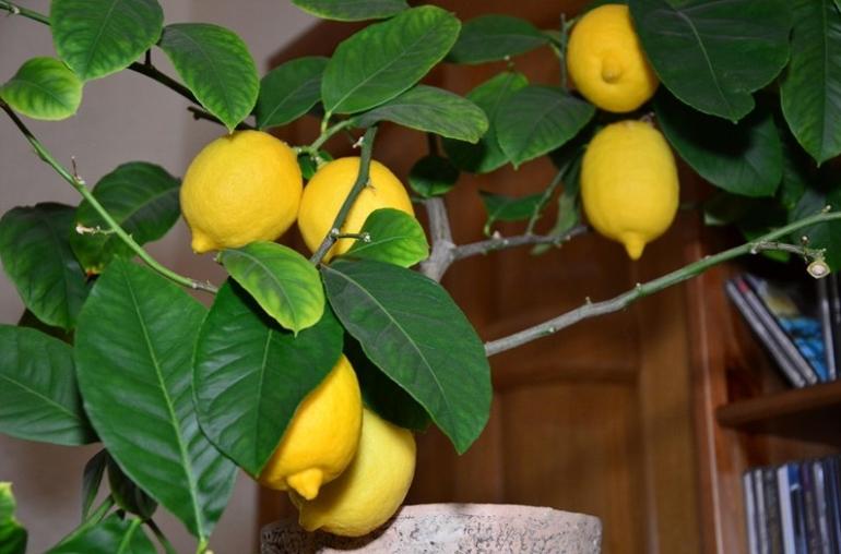 Лимонное дерево (Citrus limon) Павловский