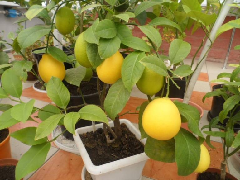 Лимонное дерево (Citrus limon) Мейера
