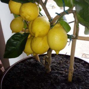 Лимонное дерево - выращивание, уход в домашних условиях, фото видов