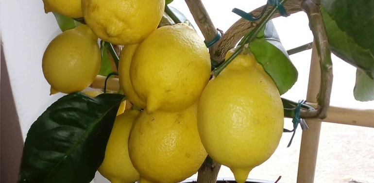 Лимонное дерево из косточки уход в домашних условиях, фото, как вырастить