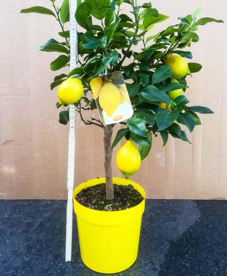 Лимонное дерево (Citrus limon). Фото