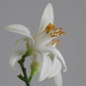 Цветок лимонного дерева. Фото